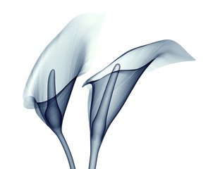 x-ray image of a flower isolated on white , the calla lilly