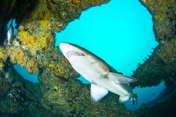 Giant sandtiger shark swims in an cav
