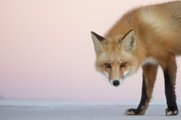 A Red Fox stares at the camera as it walks across the beach at dusk with a soft pink sky in the background.