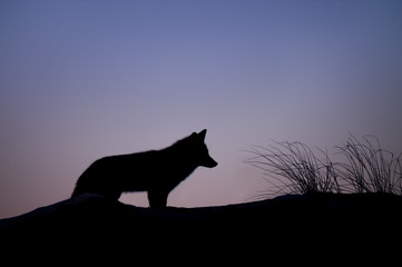 A Red Fox pauses for a moment on the top of a sand dune against the purple and blue dusk sky.