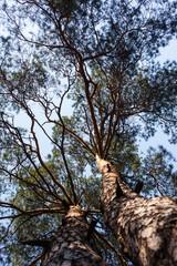 Foto op Canvas Aan het plafond Silhouettes of two pine trees