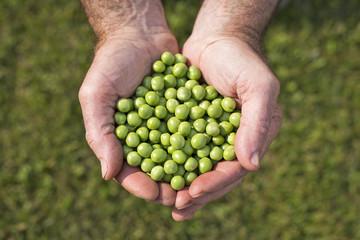 Piselli in mano al contadino