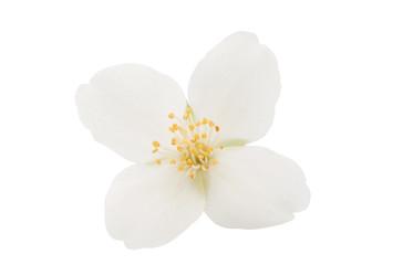 jasmine flower isolated