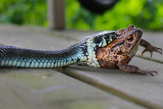 Blue snake eats fat frog