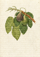 Fig tree illustration with fruits and leaves on old hadwriting paper