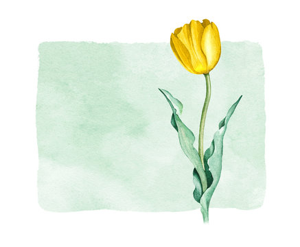 Watercolor tulip flower. Perfect for greeting card