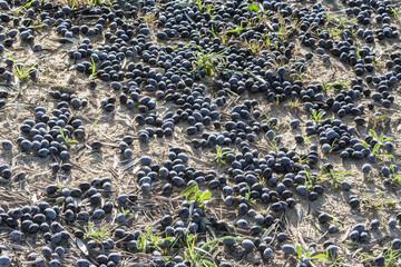 Black olives on the ground