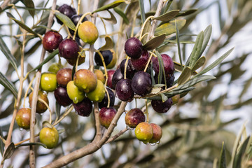 olives ripening on tree with raindrops