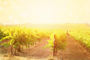 dreamy Vineyard landscape. vintage filtered image.