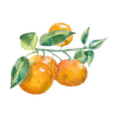 tangerines. branch tangerine watercolor