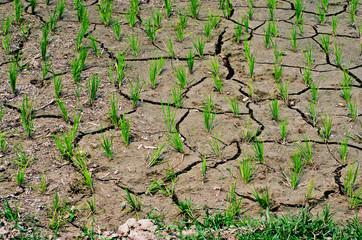 Dry rice field