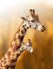 Mother and baby giraffe on the natural background
