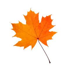 Autumn orange maple leaf