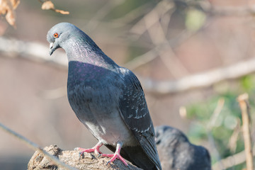 Feral pigeon (Columba livia domestica) perching on a branch.