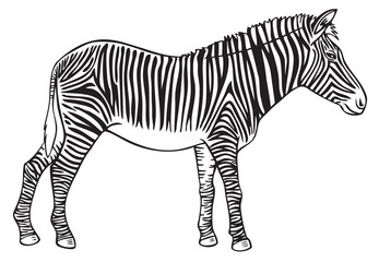 animal Zebra hand drawing