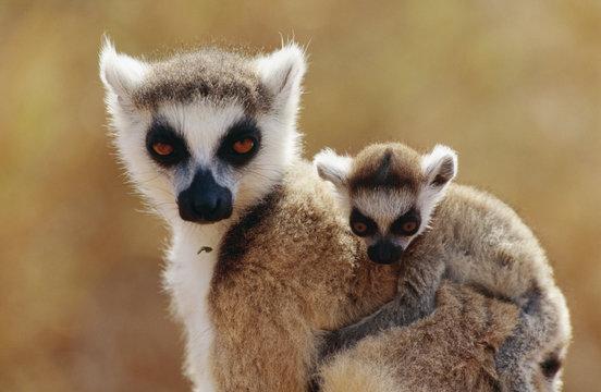 Lemurs, close-up