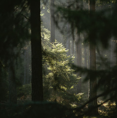 Sunrays amidst trees in forest