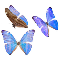 morpho adonis blue butterfly
