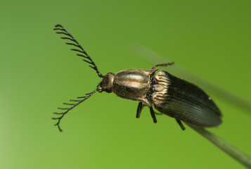Male click beetle, Ctenicera pectinicornis on grass blade