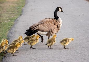 Canada, Calgary: Canada goose with goslings crossing a pathway