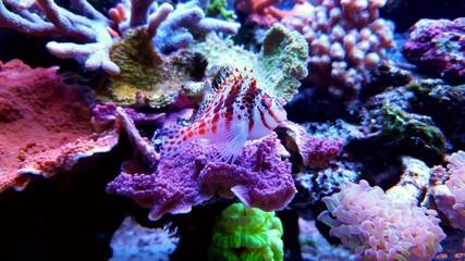 Dwarf Hawkfish on coral