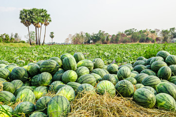 Watermelon Group in farm.