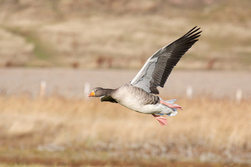 Greylag goose coming into land in the winter sun.