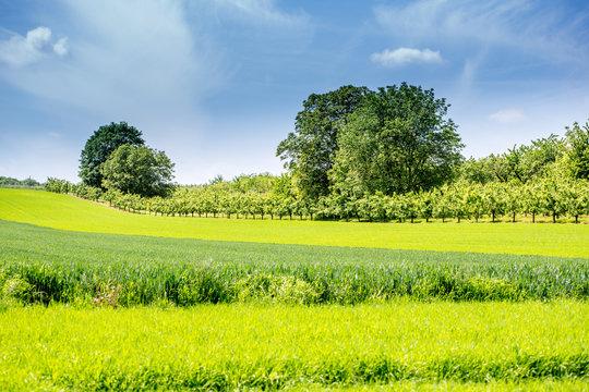 Getreideanbau in Rheinhessen, Deutschland im Frühling