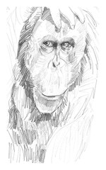 Stores photo Croquis dessinés à la main des animaux Retrato de un orangután
