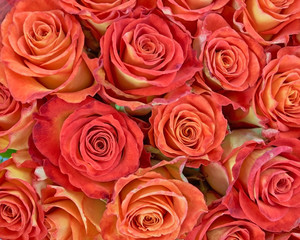 colorful roses closeup, natural background