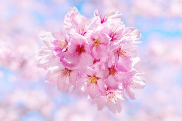 Sakura Flower / Sakura Flower, Cherry Blossom, Japanese Flower