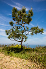 picturesque pine tree and vegetation of atlantic coast in basque country, spain