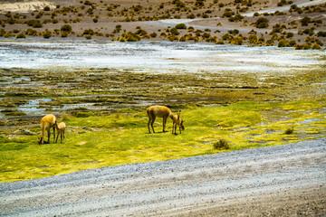 Alpaca grazing in the field at Colorada Laguna