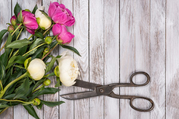 Bouquet of white and pink peonies flowers and vintage scissors on white painted wooden planks. Space for custom text. Square image. Top view.