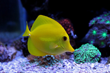 Zebrasoma yellow tang