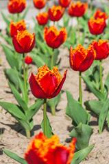 beautifull flower tulips