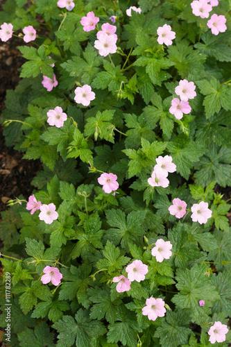 Stochschnabel Geranium Pink Violett Zartrosa Bluhend Im Garten