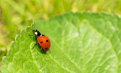 Macro of a ladybug on green leaf