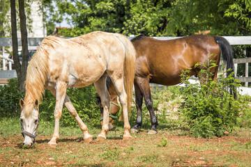 two horses (horses graze)