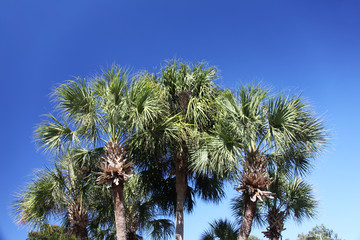 crown of the palm trees