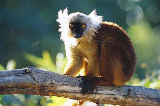 Female lemur.