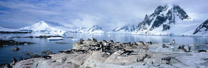 Adelie penguins in the Antarctic.
