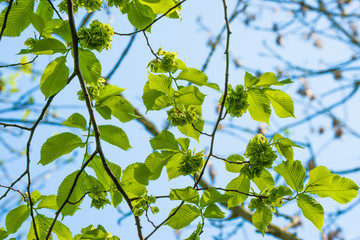 Green leaves on a elm tree