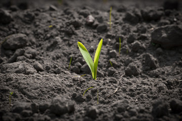 Single corn sprout on a field