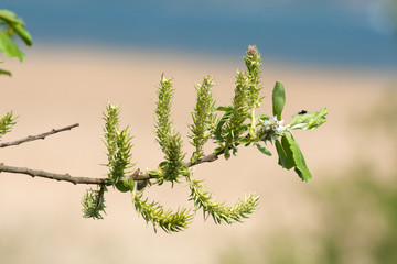 Twig with seeds in the spring