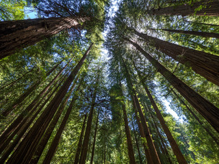 Tall trees in Muir Woods forest Wall mural