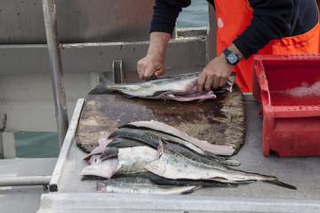 Fischer filetiert frisch gefangenen Fisch auf dem Kutter