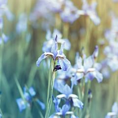 Wall Mural - Iris Flowers