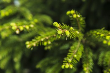 Young branches of spruce