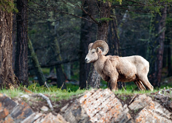 The bighorn sheep Ovis canadensis in the forest